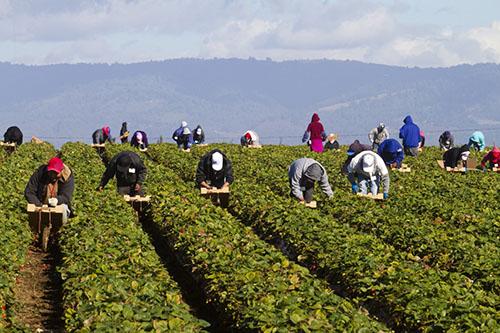 Farmworkers_in_field-